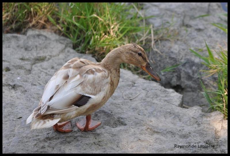 Drole de canard... Dsc_3311