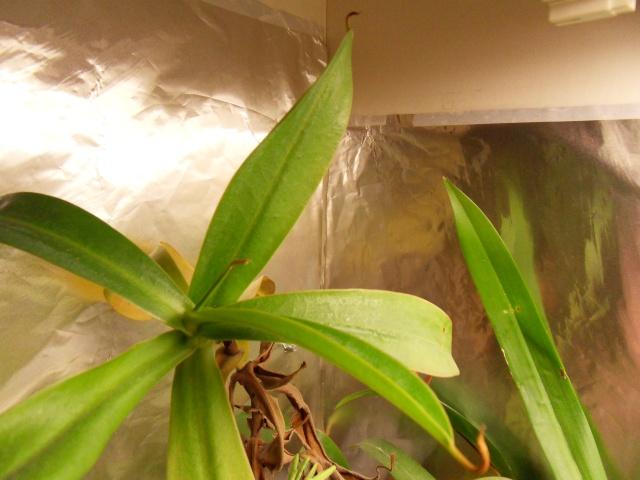 Nepenthes black beauty ou ventricosa Sdc13210