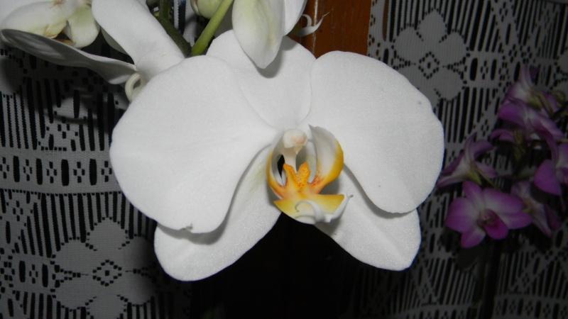 mes dernières orchidées offerte par mon mari Dscn0910