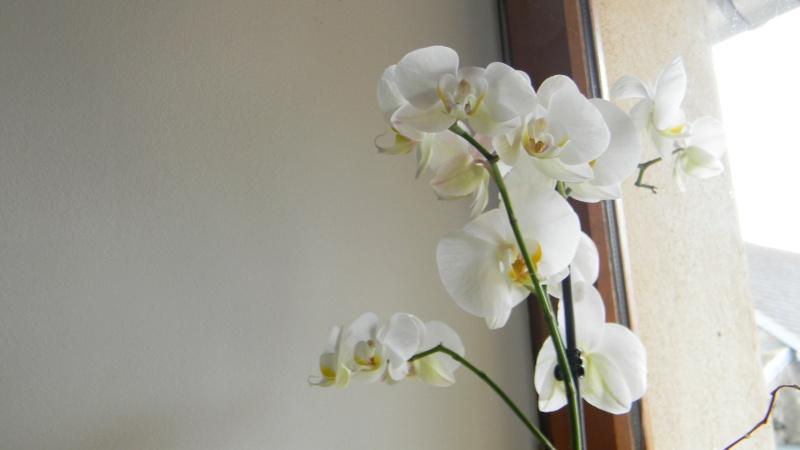 mes dernières orchidées offerte par mon mari Orchid10