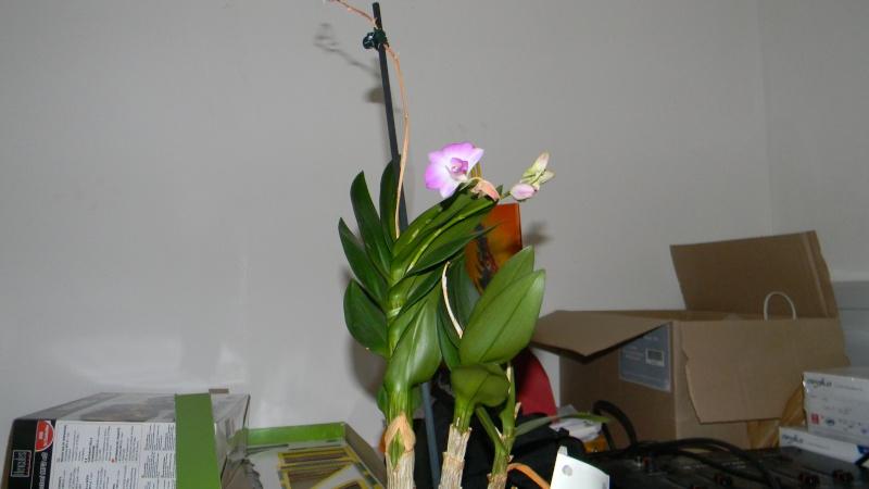 mes dernières orchidées offerte par mon mari Orchid12