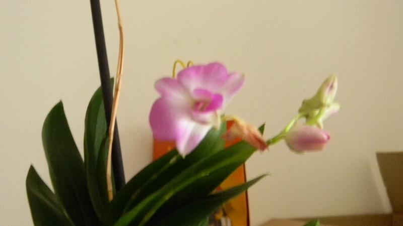 mes dernières orchidées offerte par mon mari Orchid13