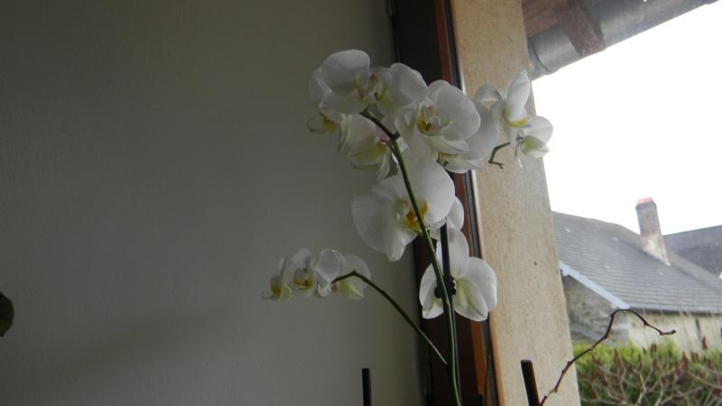 mes dernières orchidées offerte par mon mari Orchid15