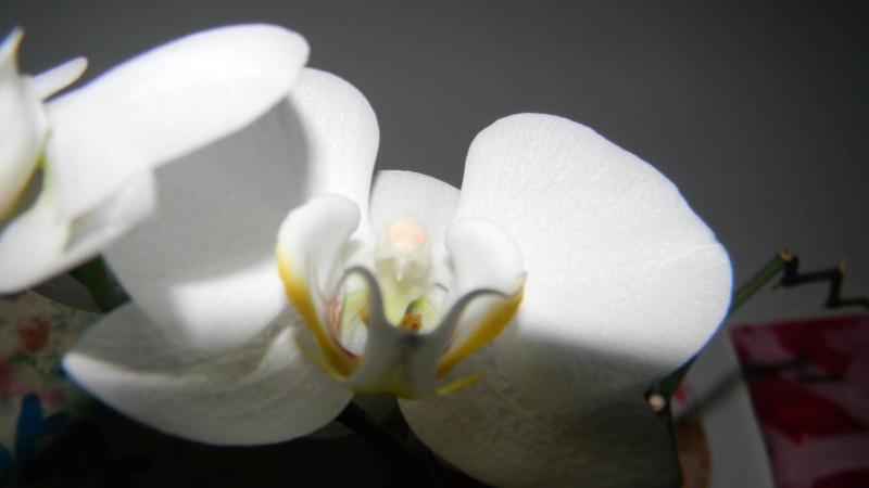mes dernières orchidées offerte par mon mari Photos15