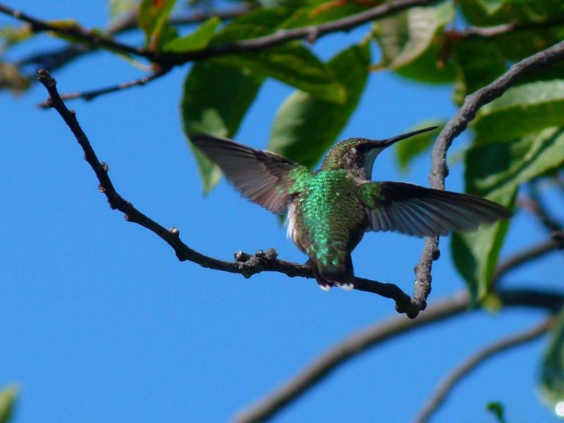 jeune colibri 11_aoa10