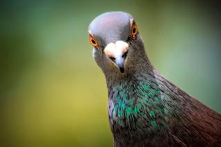 Dictons de juin 2020 Pigeon10