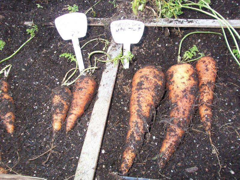 Crazy Carrots 100_3110