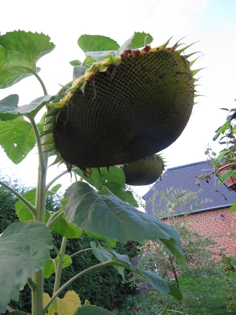 ma récolte de tournesol pour les graines 02011