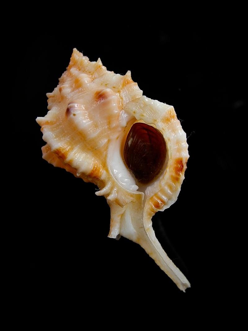 Siratus cailleti - (Petit de la Saussaye, 1856) Dscn9515
