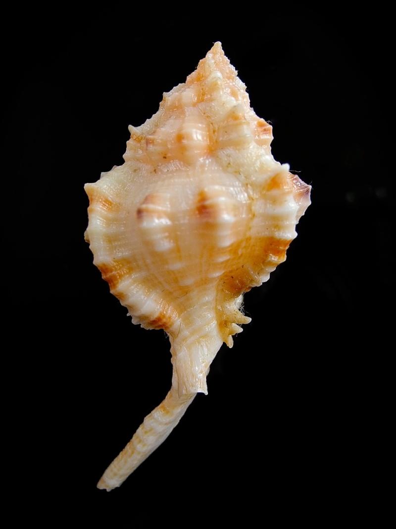 Siratus cailleti - (Petit de la Saussaye, 1856) Dscn9517
