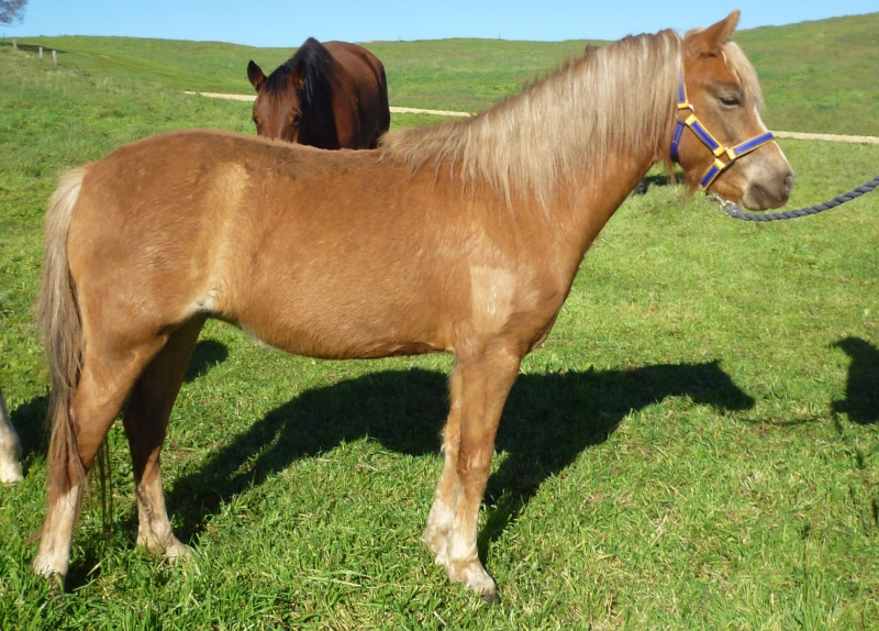 2 year old reg welsh filly 4_sale11