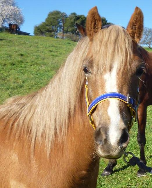 2 year old reg welsh filly Bling_10