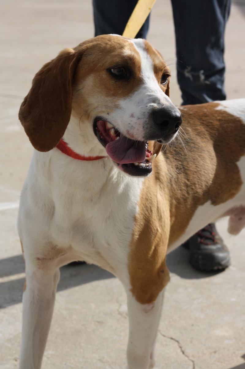 UNO - Mâle - X beagle - 4 ans Img_9012