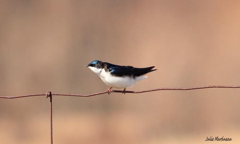 Bleu de l`Est, Bicolore, Bruant chanteur. Img_1414