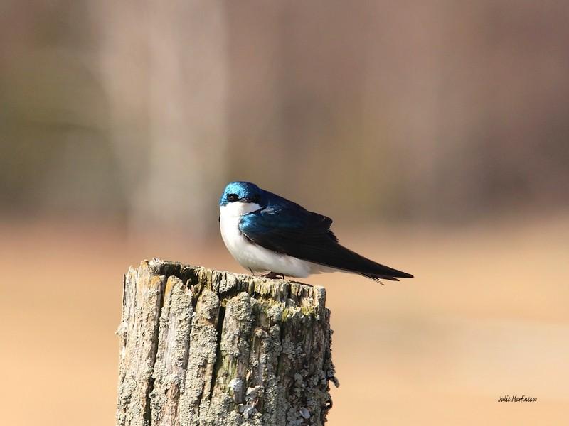 Bleu de l`Est, Bicolore, Bruant chanteur. Img_1415