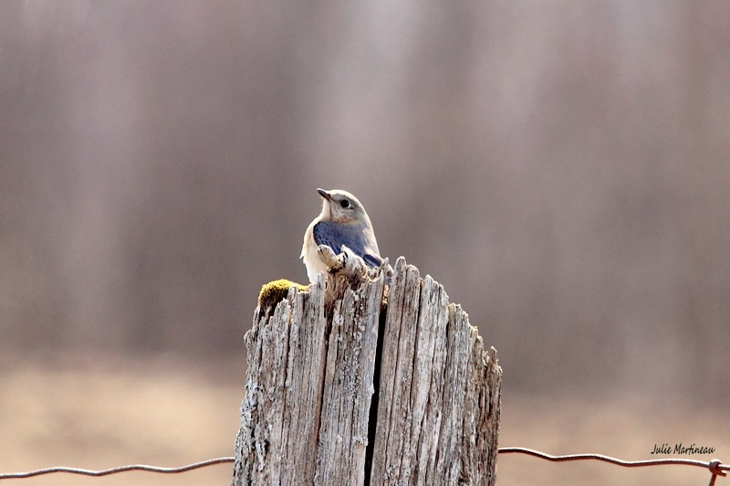 Bleu de l`Est, Bicolore, Bruant chanteur. Img_1417