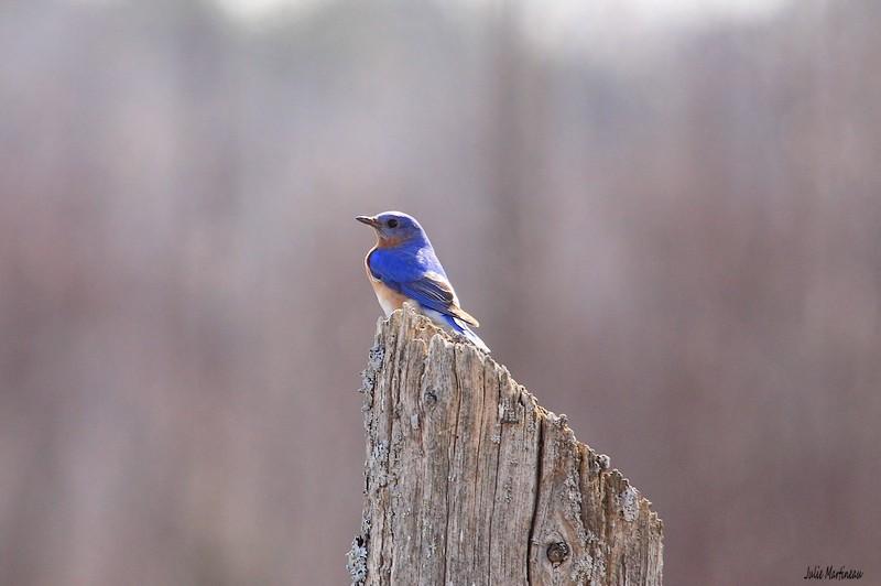 Bleu de l`Est, Bicolore, Bruant chanteur. Img_1419