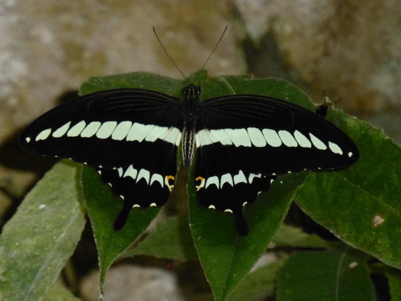 Papillon Sulawesi Sud à dét. Papilio demolion demolion P1020110