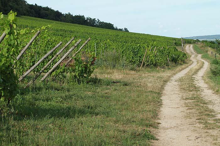 """AOC """"Côtes de Toul"""" Vignes10"""