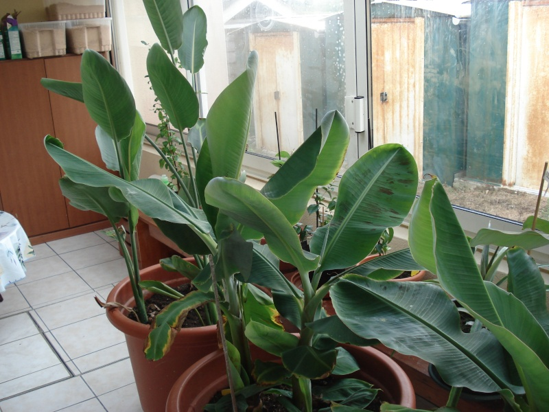 Bananiers de jardins publics 2013-032