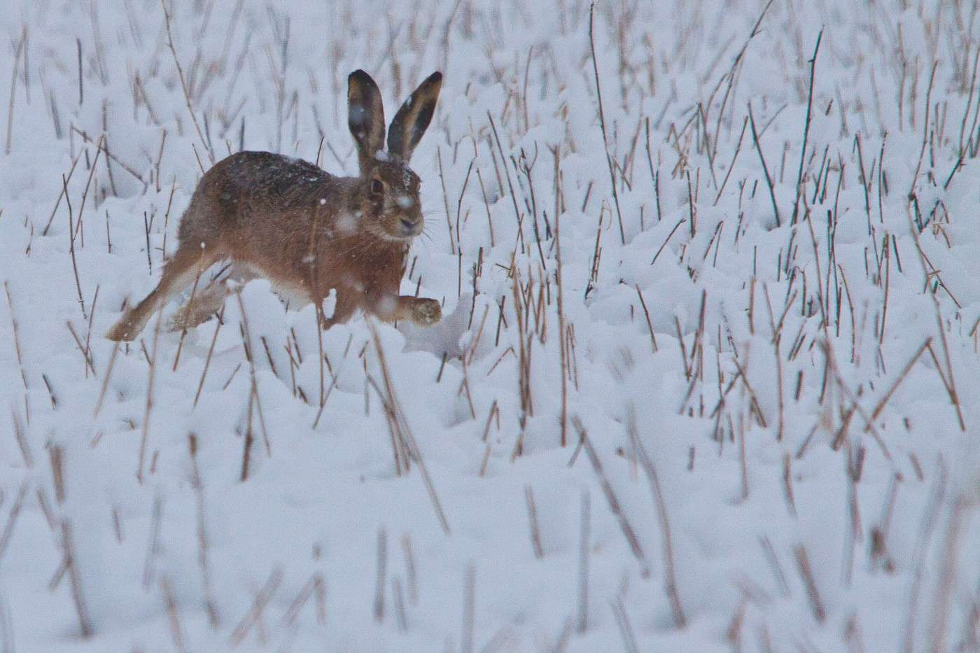Lepre sotto la neve Img_2214