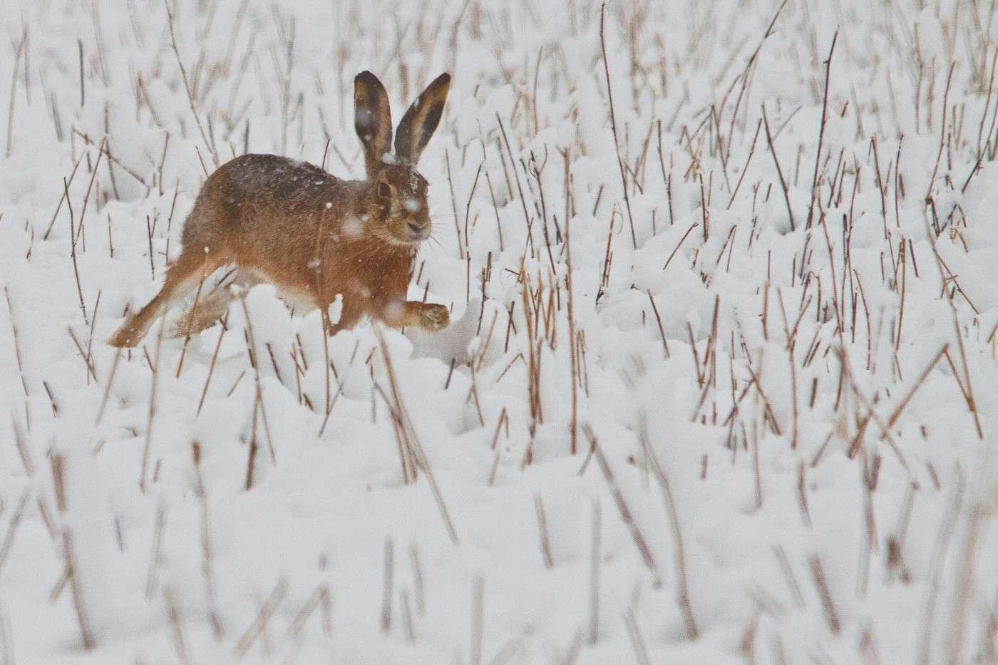 Lepre sotto la neve Img_2216