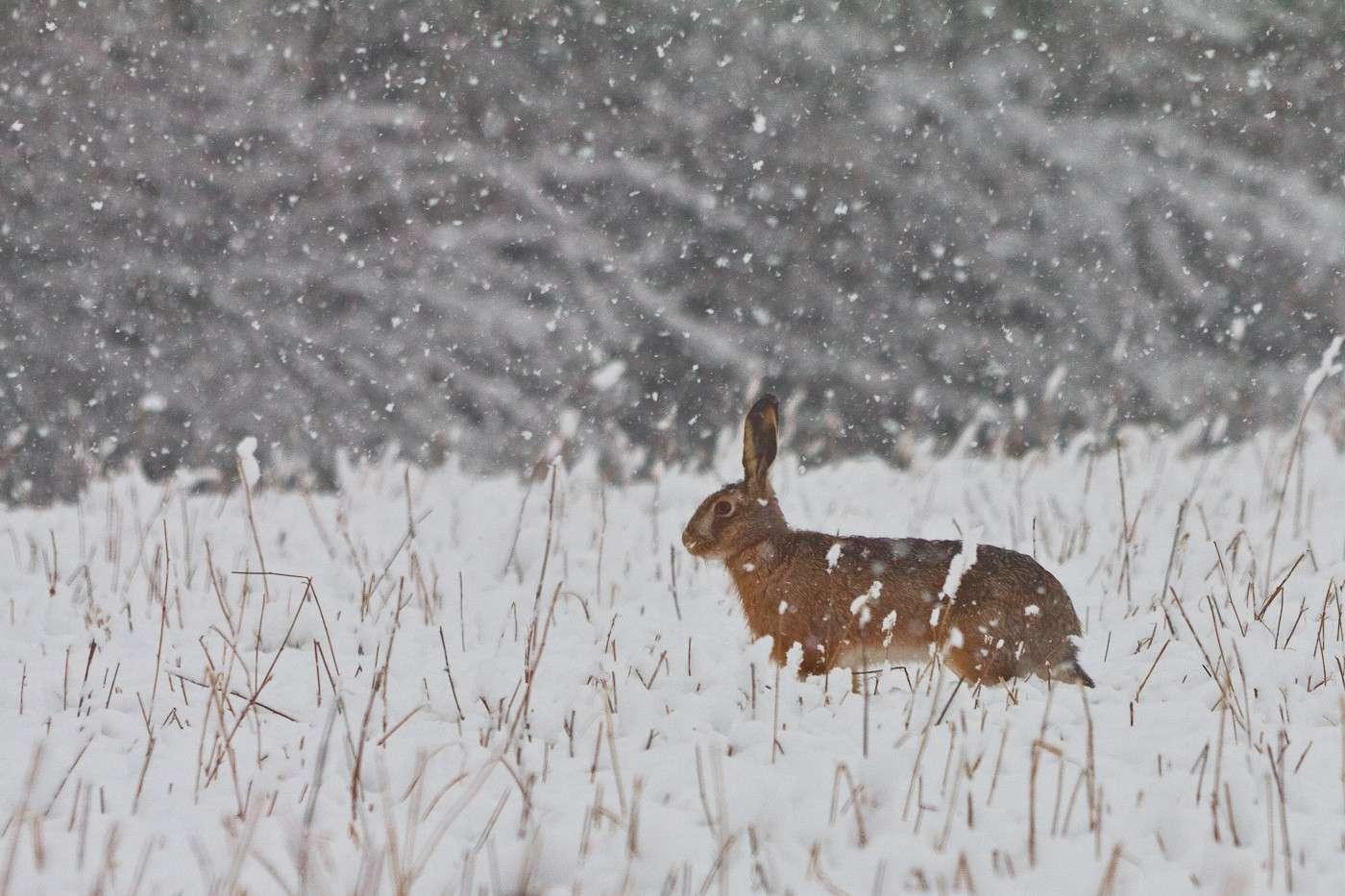 Lepre sotto la neve Img_2217