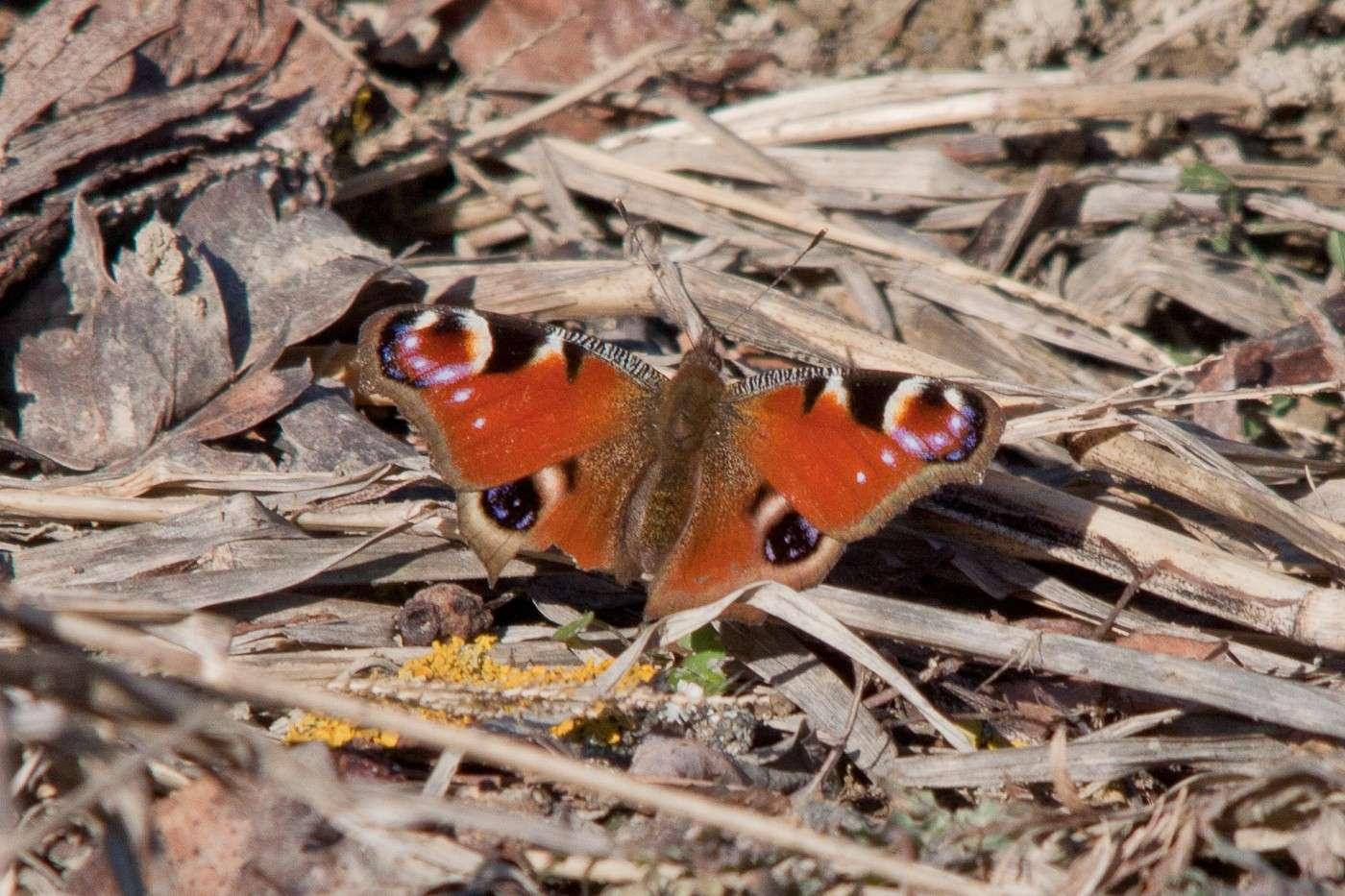 Una farfalla oggi 6 febbraio 2011 Img_2511