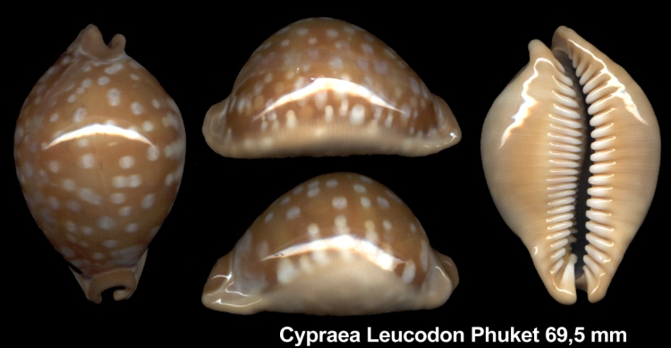 Callistocypraea leucodon leucodon - (Broderip, 1828) Leucod10