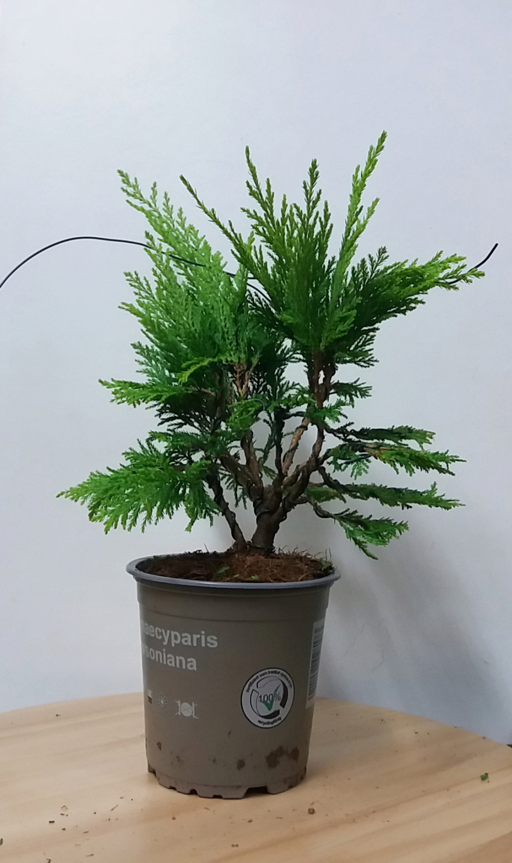 Antibonsai de supermercado 20200914