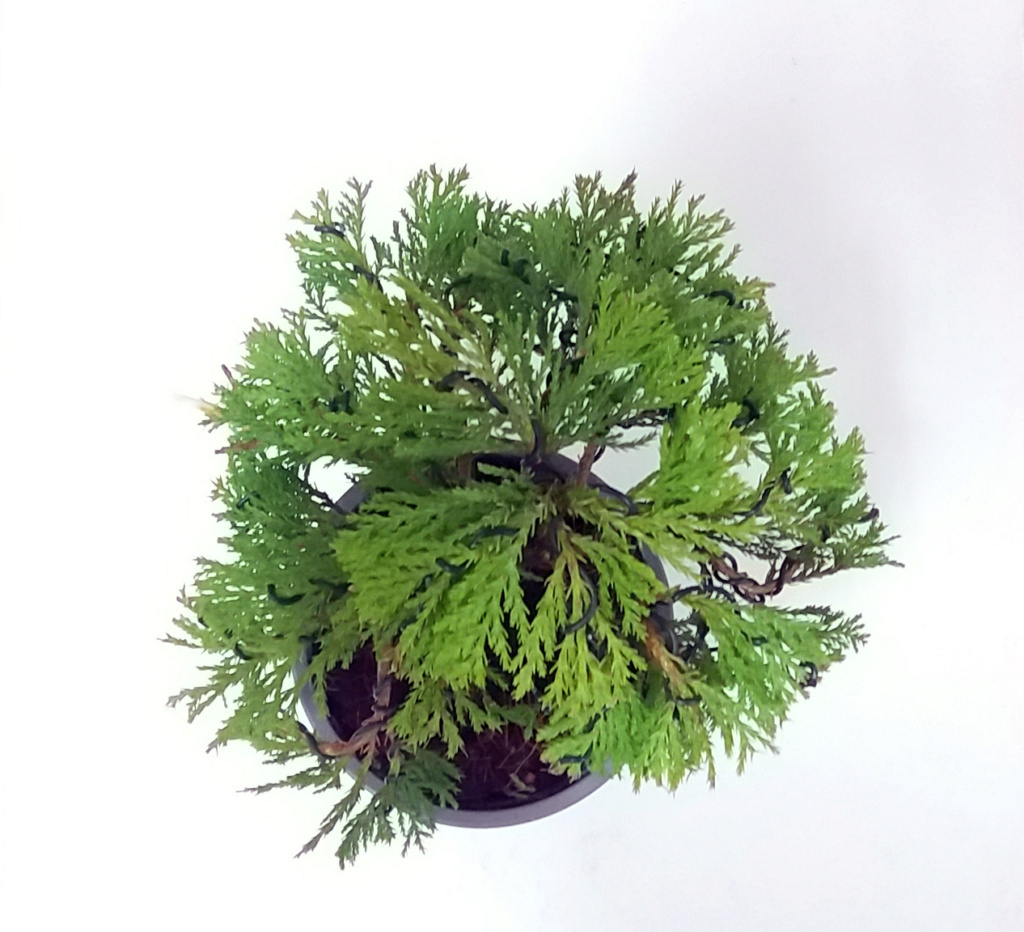 Antibonsai de supermercado 20200917