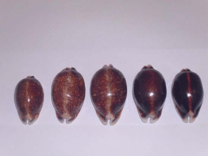 Mauritia eglantina - (Duclos, 1833) Eglant19