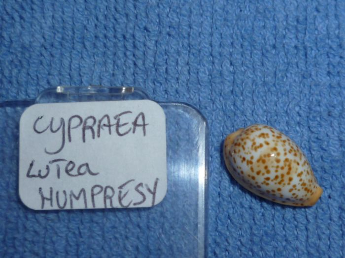 Palmadusta humphreysii yaloka - Steadman & Cotton, 1943 (taxon inquirendum) - Page 2 Lutea_10