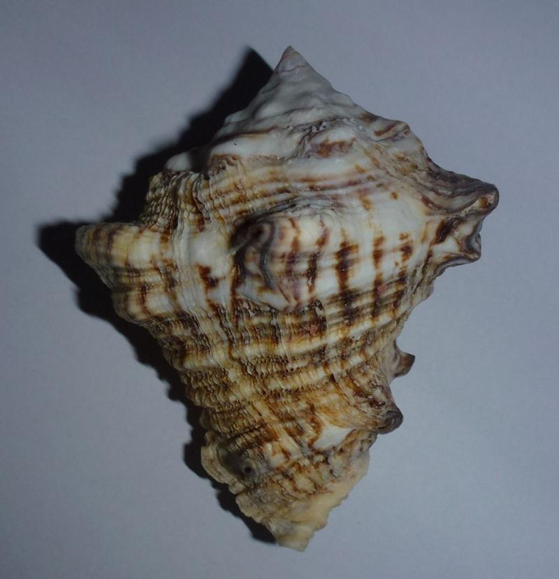 Vasum rhinoceros - (Gmelin, 1791) 950vas10