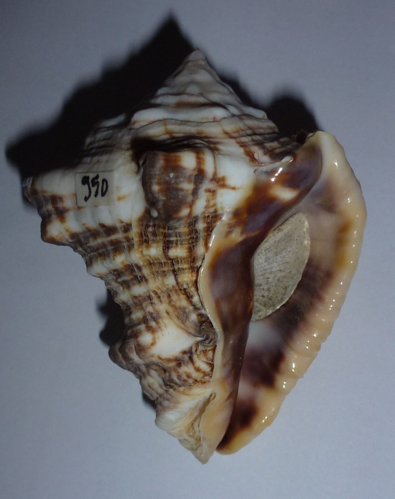 Vasum rhinoceros - (Gmelin, 1791) 950vas14