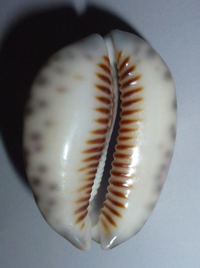 Mauritia depressa depressa - J.E. Gray, 1824 Histri14