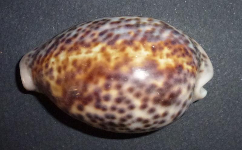 identification de cypraea ! = tigris, carneola, 11 grayana, 2 nebrites et turdus Panthe10