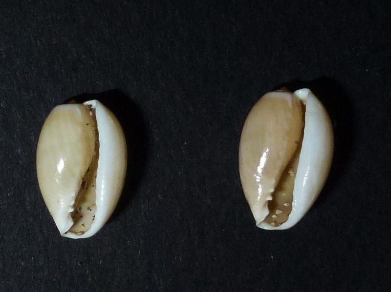 Annulus juvéniles Petite11