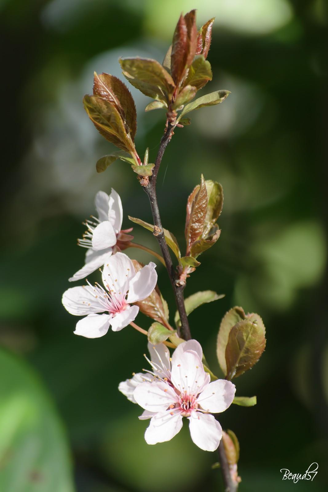 Prunus en fleurs Dsc_0510