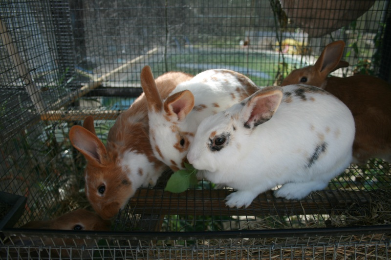 Harlequin coloured rabbits 00111