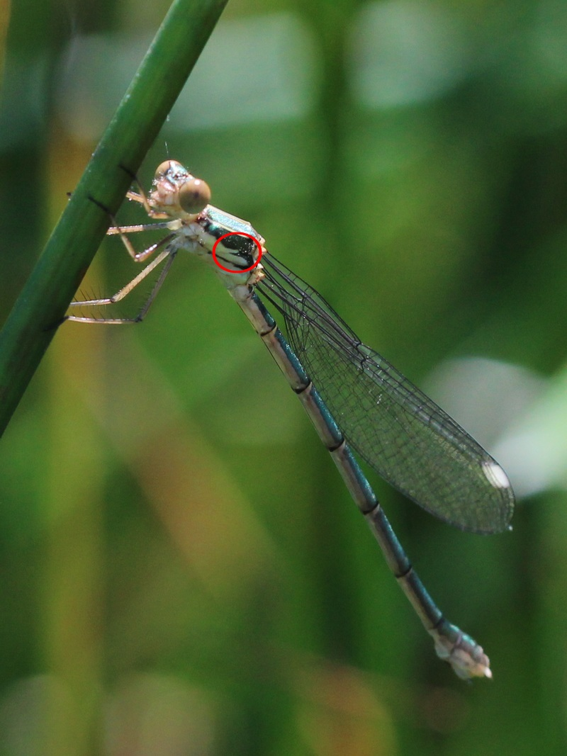 [Chalcolestes viridis][Lestes barbarus ? Immatu11