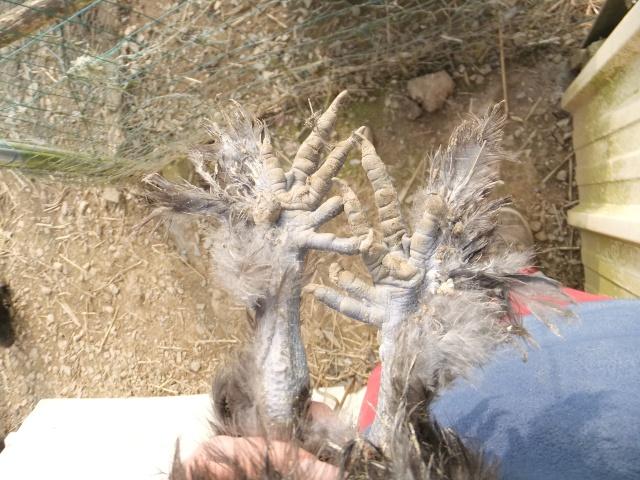 Mes poules soie bleu et noir  Dscf8322