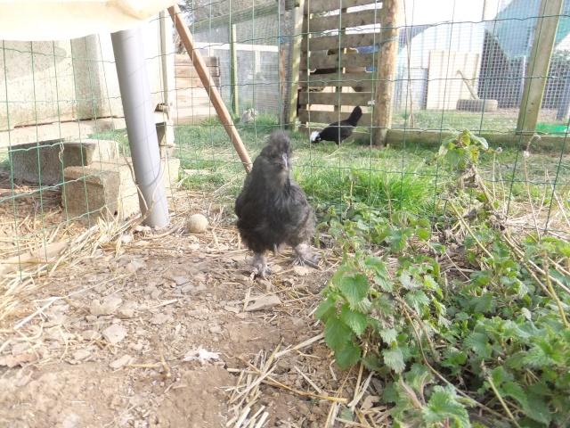 Mes poules soie bleu et noir  Dscf8326