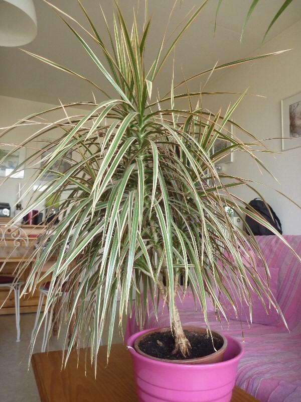 Dracaena marginata P1070010