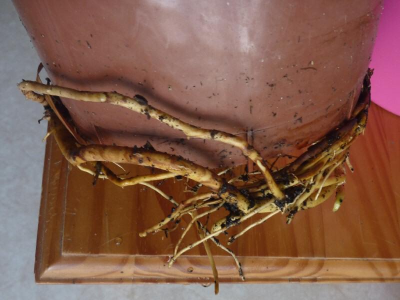 Dracaena marginata P1070011