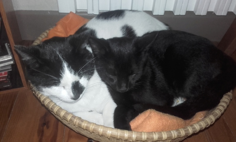 Oudini, chaton mâle noir, né le 12.04.2018 09210