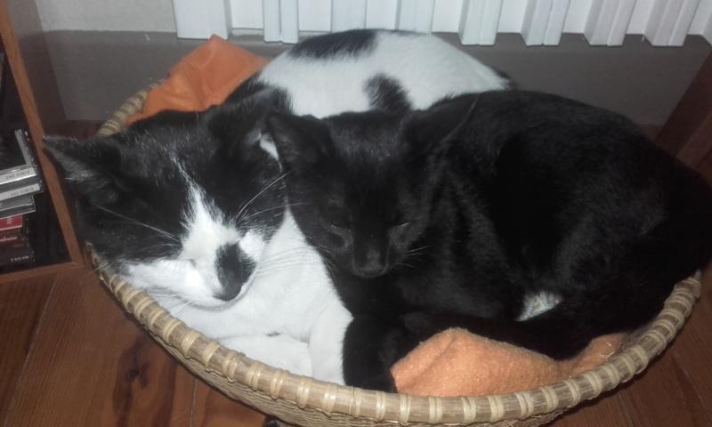 liona - LIONA, chatte européenne Noire&Blanche, née en 2015. 09211