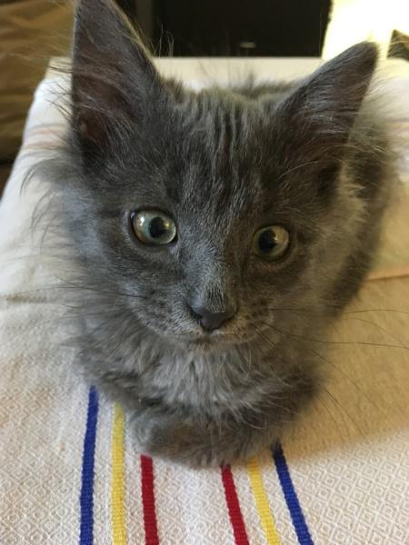 ORKAAN, chaton mâle gris à poils mi longs, né vers le 25/06/18 Img_0912