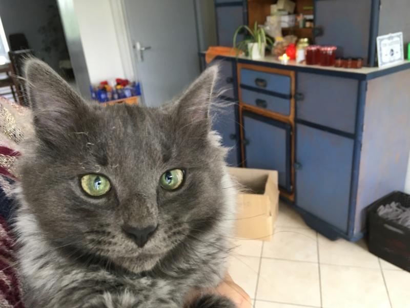 ORKAAN, chaton mâle gris à poils mi longs, né vers le 25/06/18 Img_1523