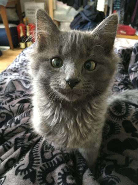 ORKAAN, chaton mâle gris à poils mi longs, né vers le 25/06/18 Img_1524